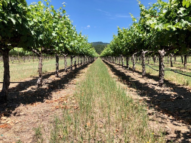 Iconic Sebastiani vineyards returning to glory…