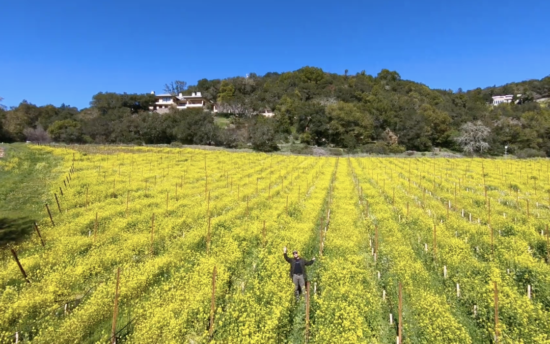 Sonoma grape supply, smoke impact, fall pruning, and winter mustard